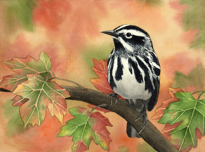 Diane Pope, Black and White Warbler