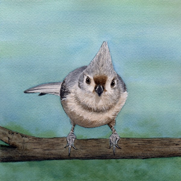 Diane Pope, Little Tufted Titmouse