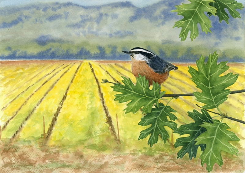 """Napa Nuthatch<br> <i>Original Available (Framed 18"""" x 24"""")  <br>Giclees and Prints Available</i>"""