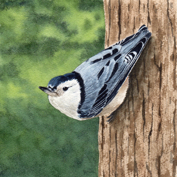 Diane Pope, Little Nuthatch