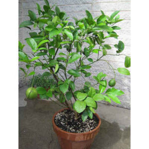 Dwarf Lime Tree