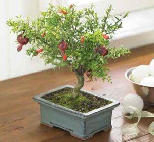 Dwarf Pomegranate Tree
