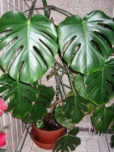 Split Leaf Philodendrons
