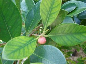 Weeping Fig