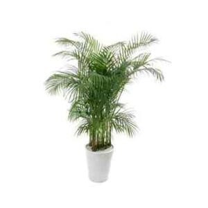 kentia-palm-plant