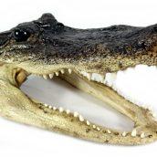 real-alligator-heads-x-large-1404176218-jpg