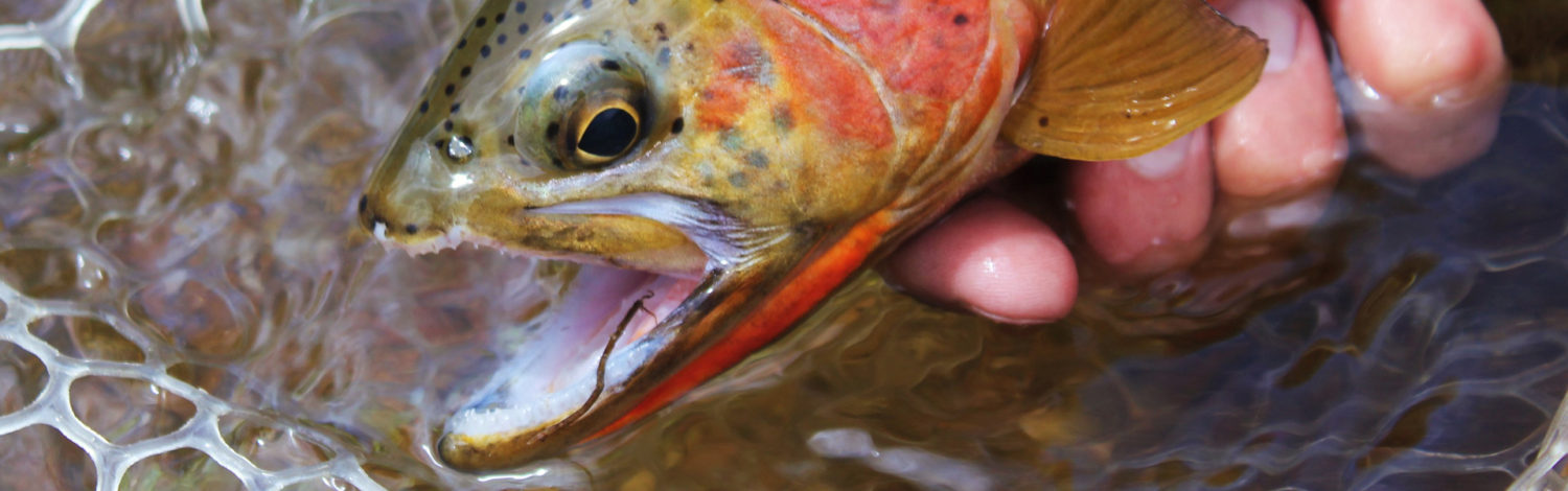 Westslope Cutthroat Fly Fishing