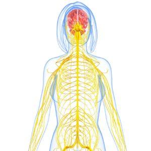 15181750 - female nervous system highlighting brain