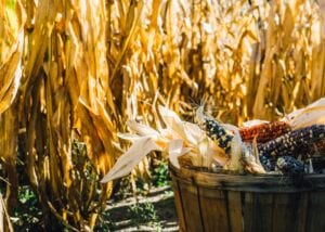 Corn mazes can be fun for a group or as a date!