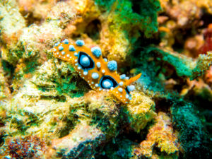 Orange and Blue Nudibranch found by the team at Fish Eye Underwater productons