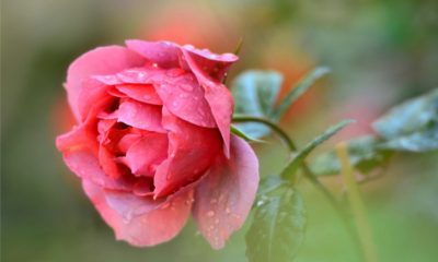 28 Beautiful Rose Images and Wallpapers