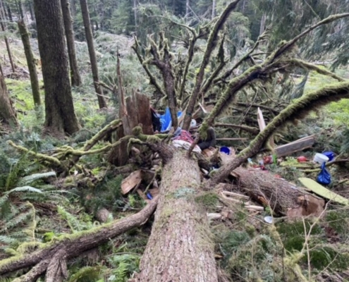 Toppled forest protector tree sit