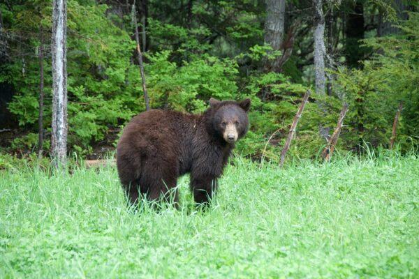 brown-bear-566731_1280