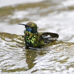 Hummingbird in shallow running water