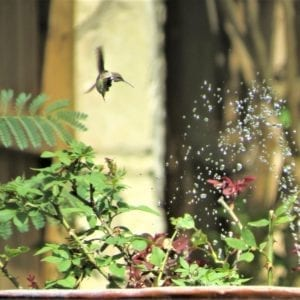 Hummingbird in a sprinkler