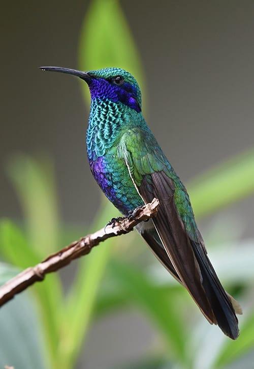 Sparkling Violetear in Ecuador