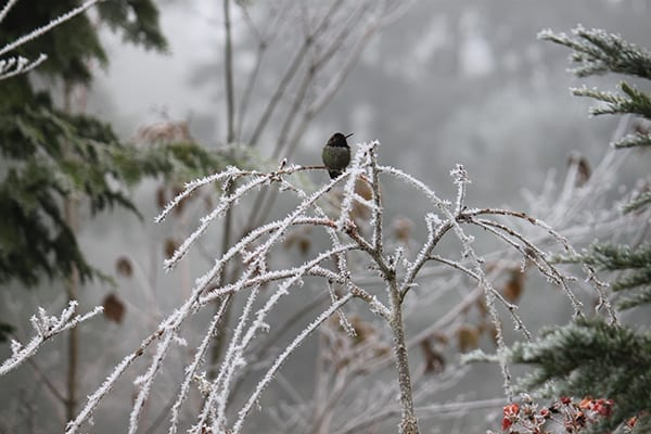 Hummingbird sitting in a frost-covered shrub