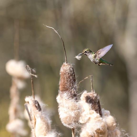 Hummer Gathering Cattail Fluff
