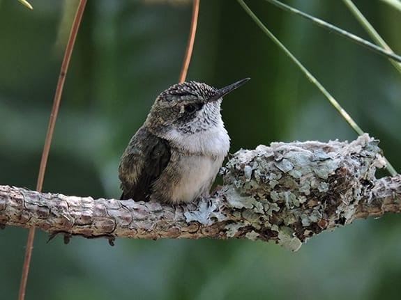 Hummingbird sitting next to her nest