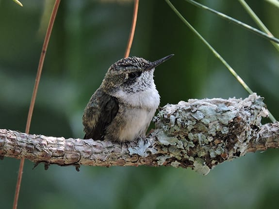Hummingbird sitting next to her nest