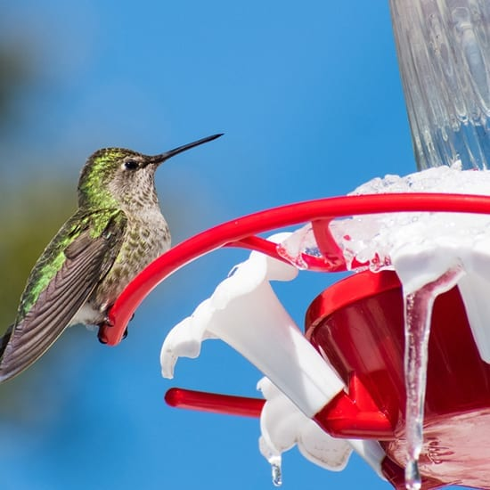 Hummingbird on frozen feeder