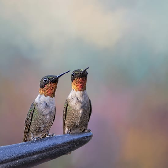 Two male hummingbirds sharing a perch