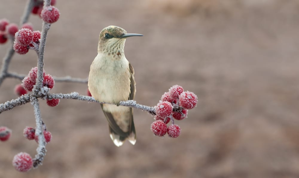 Hummingbird on shrub branch