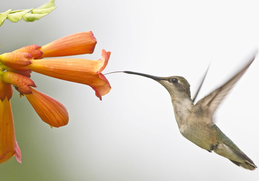 Ruby-throat using her long tongue for a trumpet vine