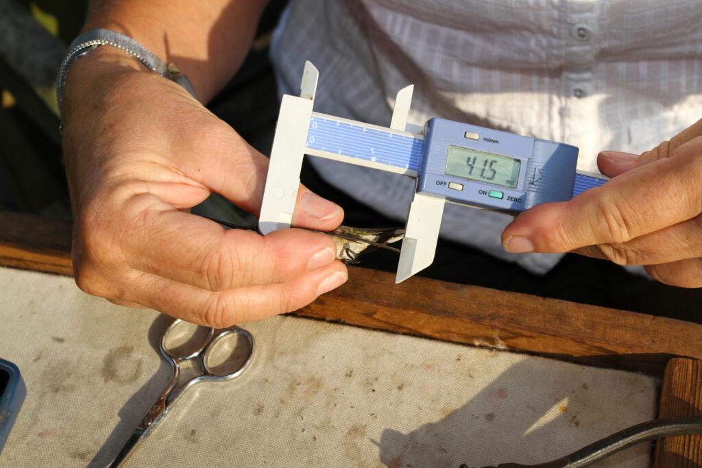 Hummingbird bander measuring a hummingbird