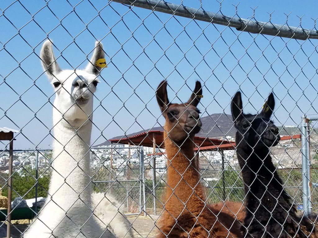 Llamas at Parque Bicentenario, Santa Rosa Jauregui