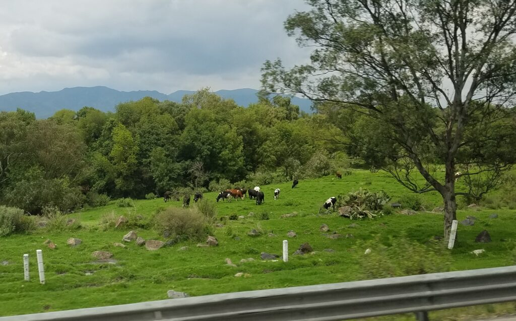 Cows graving on the side of the highway during bus travel through Mexico