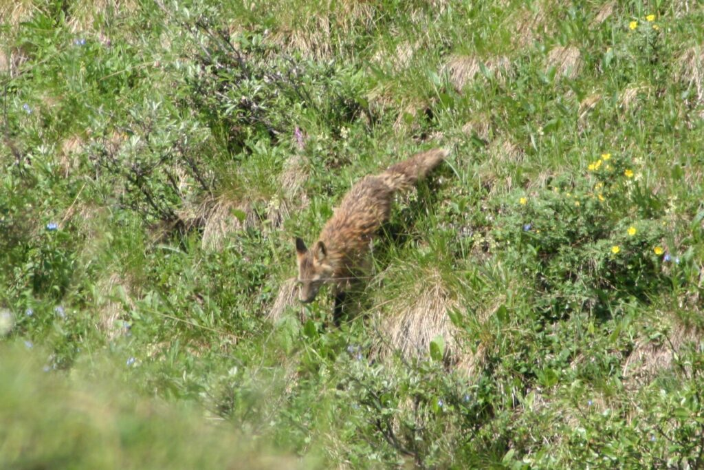 Fox in Denali National Park, ALaska