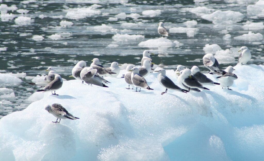 Sea gulls on floating ice in Alaska