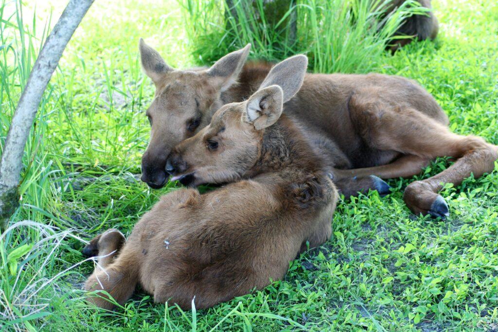 Baby moose, Alaska