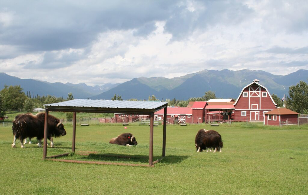 Musk ox grazing at the Musk Ox Farm in Palmer, Alaska