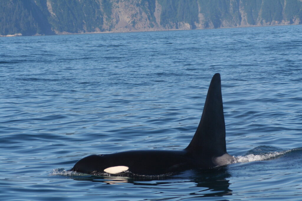 Male orca near Seward, Alaska