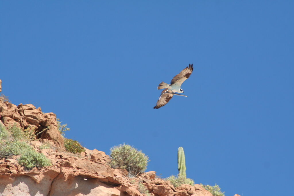 Bird of prey flying with fish, Isla Espiritu, Mexico