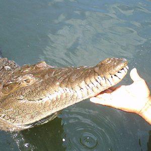 tours-black-river-crocodile