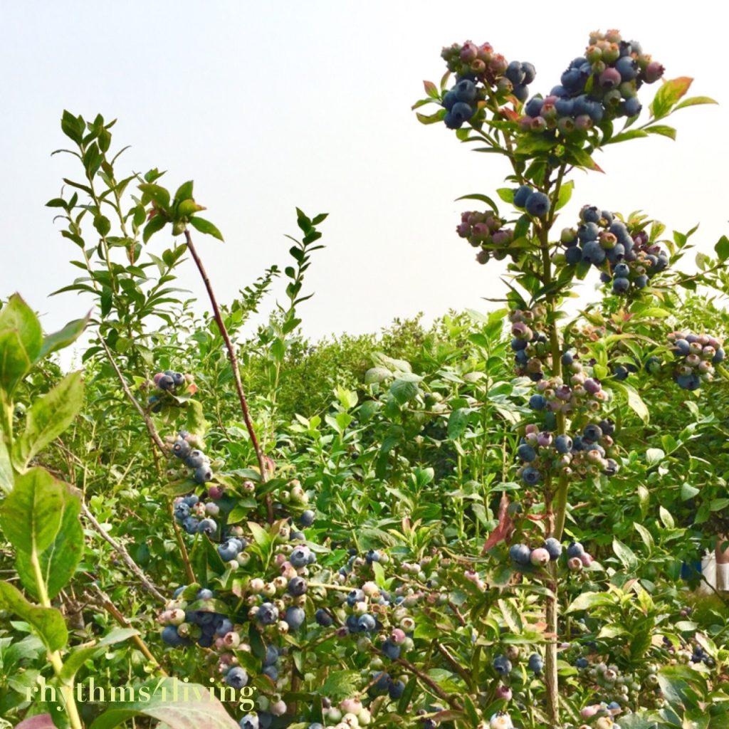 blueberry bush, blueberry picking, family fun