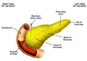 Pancreas Cutaway