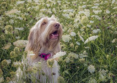 Spinone Italiano dog in clover field close up - Fetching Foto Photography