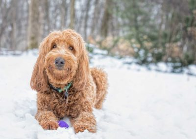 Brown Golden doodle smiling and laying in snow - Fetching Foto Photography