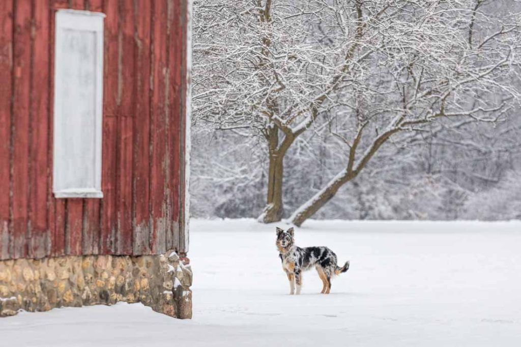 Tri colored border collie puppy stands looking on in a filed of snow next to a red barn with snow covered branches in the distance.