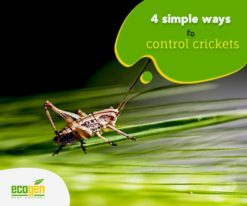 ways to control the chaotic crickets