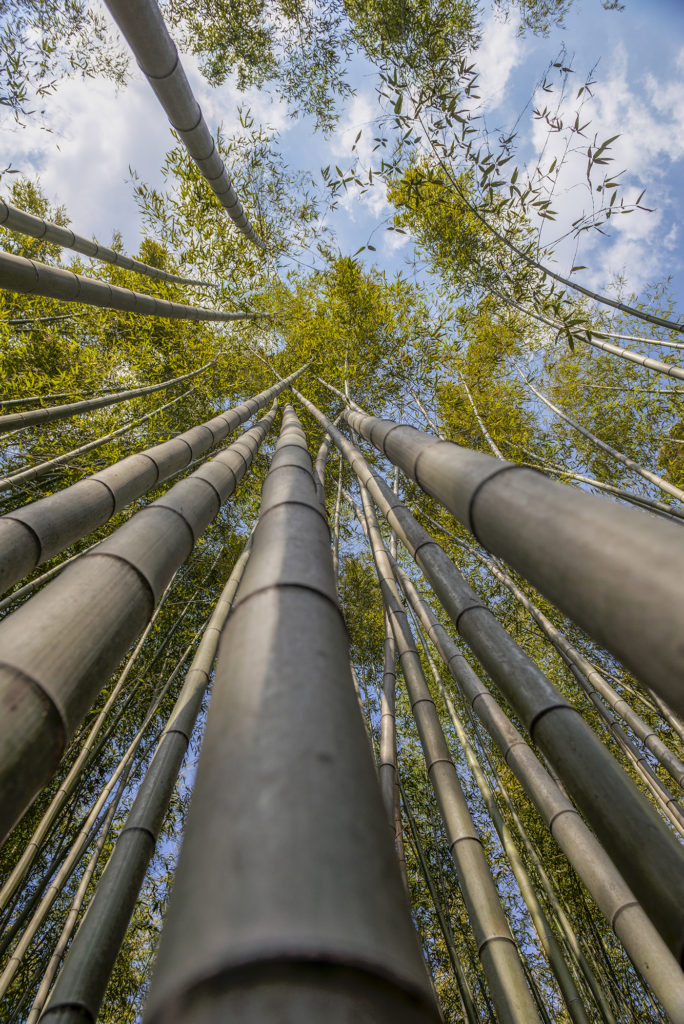 Bamboo Forest from below