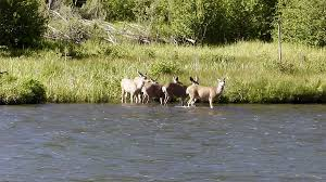 mule-deer-crossing-deschutes