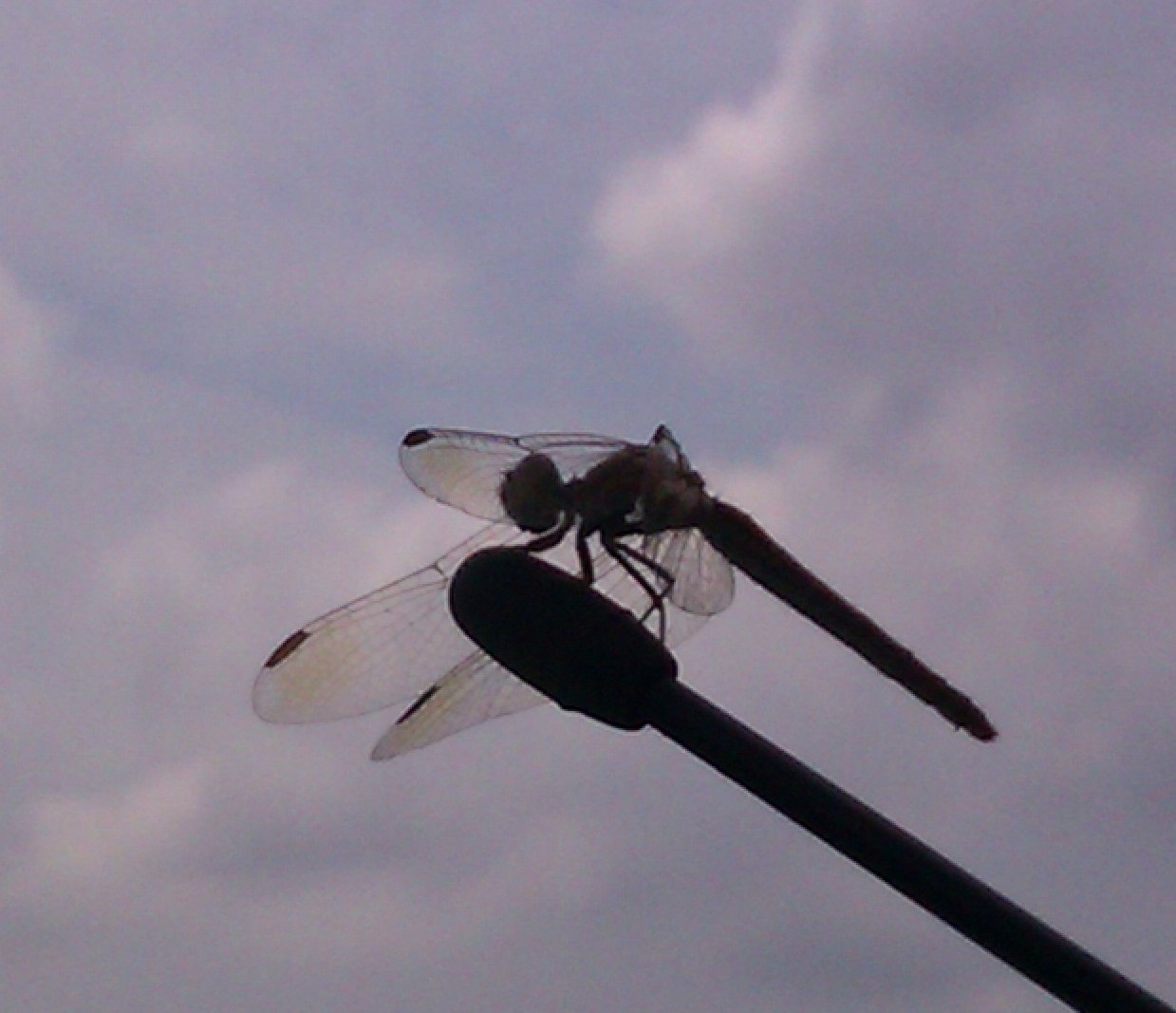 dragonfly on car antennae