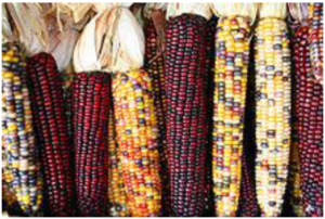How Corn Changed Itself and Then Changed Everything Else @ Dairy Building