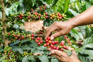 Harvest on Brazil coffee farm - Minas Espresso Inc