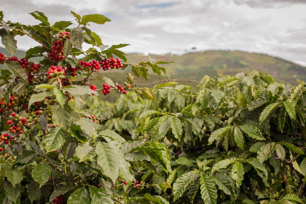 Brazilian coffee farm - Minas Espresso Inc
